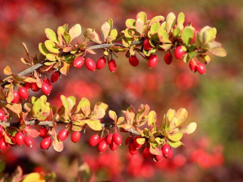 Crespino –  Barberis vulgaris