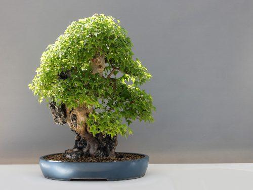Malattie dei bonsai e come difenderli
