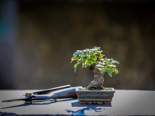 la Potatura del Bonsai