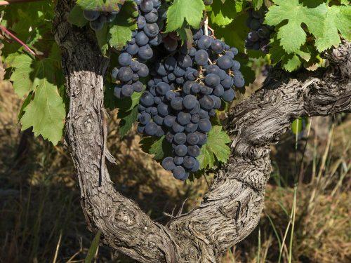 Scheda tecnica Vite – Vitis vinifera