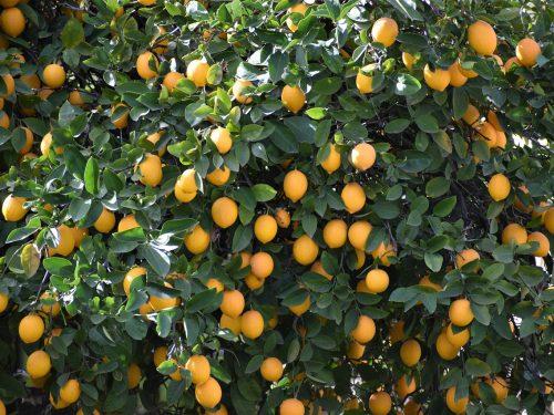 Scheda Tecnica Limone  –  Citrus limon