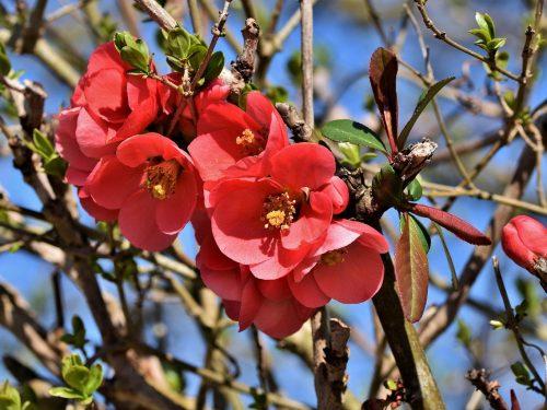 Scheda tecnica  Cydonia – Fior di Pesco -Cotogno da fiore