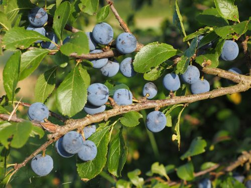 Prugnolo Selvatico  ( Prunus Spinosa )