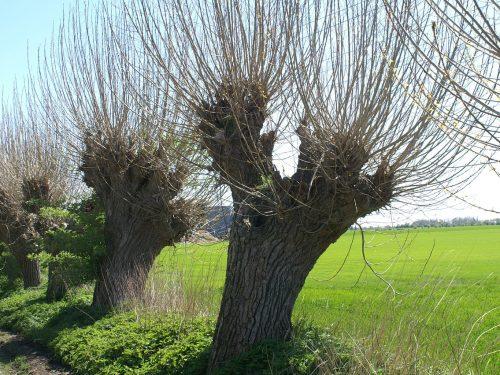 Scheda Tecnica Salice  – Salix