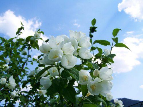 Scheda tecnica Gelsomino  –  Jasminum