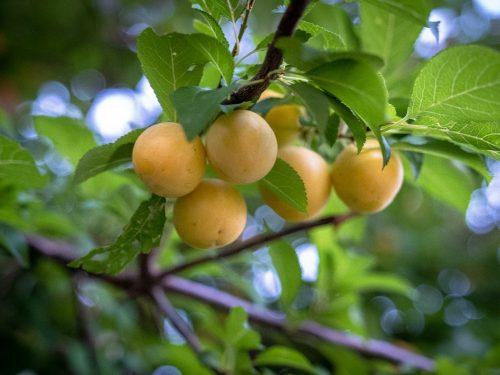 Scheda Tecnica Susino    Prunus Domestica