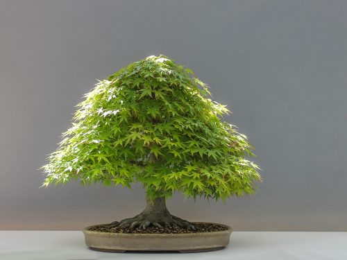 Calendario Bonsai Giugno