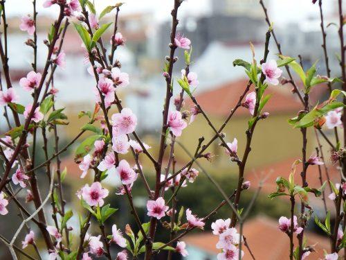 Scheda tecnica Pesco – Prunus Persica