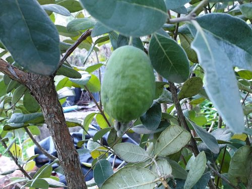 Come fare la talea di Feijoa – Acca Sellowiana