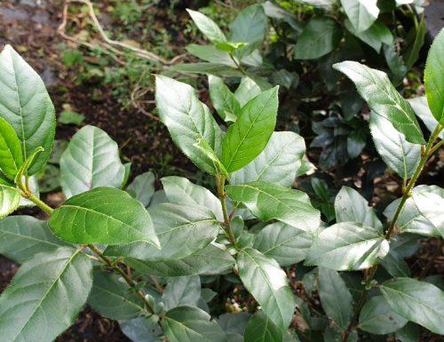 Come propagare il Viburnum Tinus – Lentaggine . per Talea
