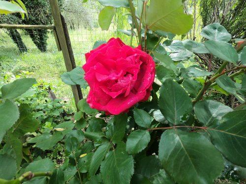 Come fare una talea di rosa