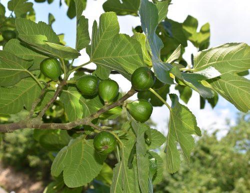 Come fare la talea di Fico ( Ficus Carica )
