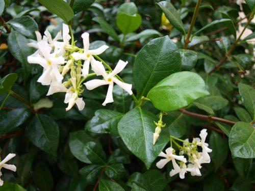 Come fare la talea di falso Gelsomino -rincospermo ( trachelospermum Jasminoides )