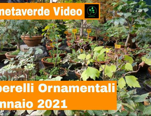 Alberelli Ornamentali Prebonsai Gennaio 2021