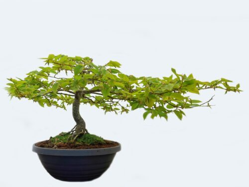 Calendario Bonsai Marzo