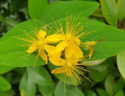Come riprodurre con la talea l 'Hypericum  il fiore di San Giovanni