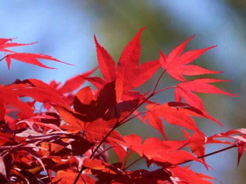 Come riprodurre per talea l'Acero Palmato Rosso Giapponese ( Acer Atropurpureum )